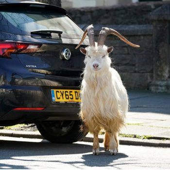 Wild Mountain Goats Take Over Streets of Welsh Town